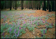 Lupine on floor of burned forest. Yosemite National Park, California, USA. (color)