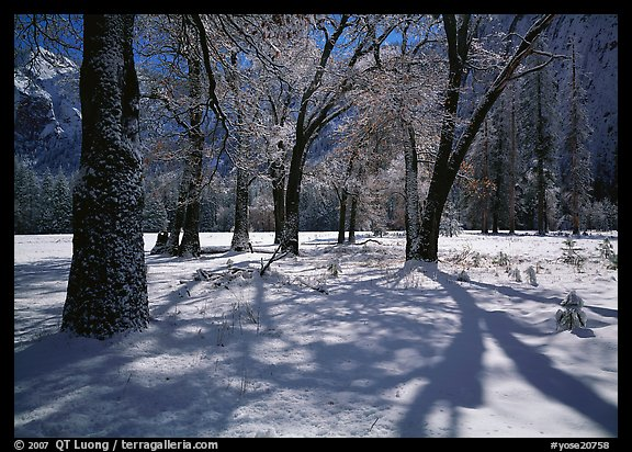 Black Oaks and shadows in El Capitan Meadow in winter. Yosemite National Park (color)