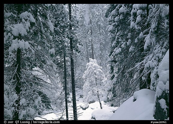 Snowy trees in winter. Yosemite National Park, California, USA.
