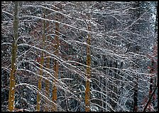 Snow-covered trees with diagonal branch pattern. Yosemite National Park ( color)