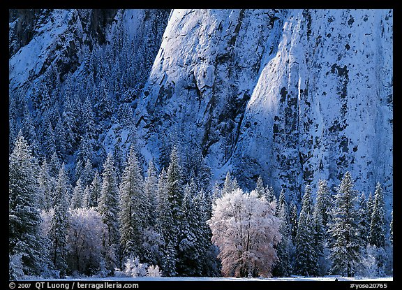 Trees and cliff with fresh snow, Cathedral Rocks. Yosemite National Park (color)