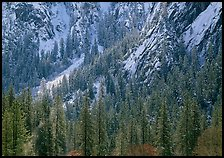 Dry Evergreens and snowy cliff. Yosemite National Park ( color)