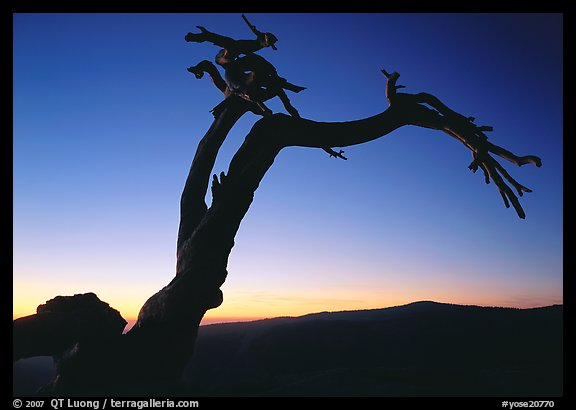 Dead Jeffrey Pine on Sentinel Dome, sunset. Yosemite National Park (color)