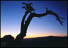 Dead Jeffrey Pine on Sentinel Dome, sunset. Yosemite National Park, California, USA.
