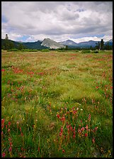 Indian Paint Brush and Lambert Dome, Tuolumne Meadows. Yosemite National Park ( color)
