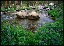 Lupine, boulders, Tuolumne River in forest. Yosemite National Park, California, USA.