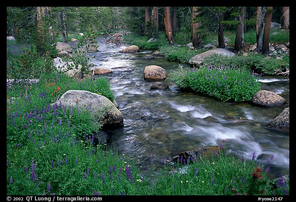 Stream and wildflowers, Tuolunme Meadows. Yosemite National Park (color)