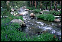 Stream and wildflowers, Tuolunme Meadows. Yosemite National Park, California, USA.