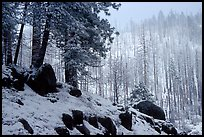 Forest with snow and fog, Wawona road. Yosemite National Park, California, USA. (color)