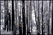 Burned forest in winter, Wawona road. Yosemite National Park, California, USA. (color)