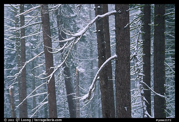 Lodgepole pine trees in winter, Badger Pass. Yosemite National Park (color)