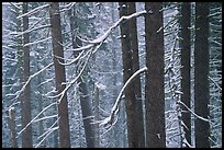 Lodgepole pine trees in winter, Badger Pass. Yosemite National Park ( color)