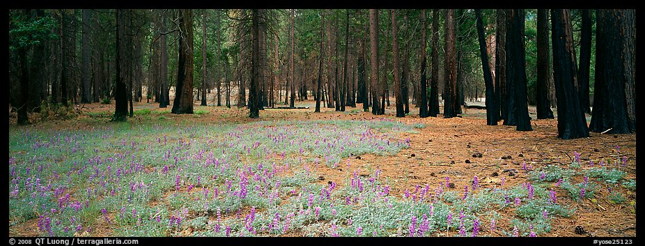 Lupine and burned forest. Yosemite National Park (color)
