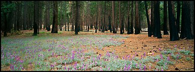 Lupine and burned forest. Yosemite National Park (Panoramic color)