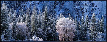 Snowy trees at the base of cliff. Yosemite National Park (Panoramic color)