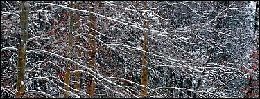 Snowy branches. Yosemite National Park (Panoramic color)