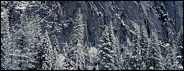 Snow-covered trees and dark cliff. Yosemite National Park (Panoramic color)