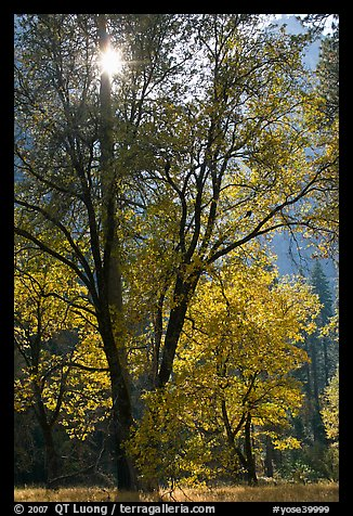 Sun shinning through trees in fall colors. Yosemite National Park (color)