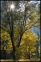 Sun shinning through trees in fall colors. Yosemite National Park, California, USA. (color)