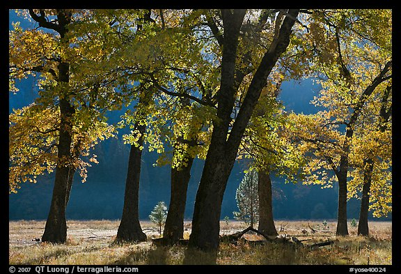 Black oaks in early fall foliage, El Capitan Meadow, morning. Yosemite National Park (color)