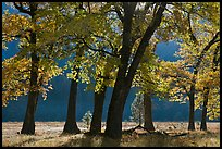 Black oaks in early fall foliage, El Capitan Meadow, morning. Yosemite National Park, California, USA.