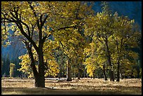 Black oaks with with autumn leaves, El Capitan Meadow, morning. Yosemite National Park ( color)
