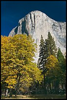 Trees in fall color and El Capitan. Yosemite National Park, California, USA. (color)