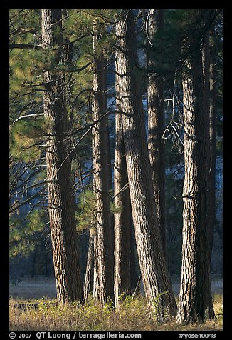 Pine trees, late afternoon. Yosemite National Park (color)