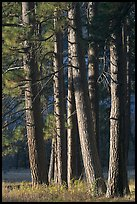 Pine trees, late afternoon. Yosemite National Park ( color)