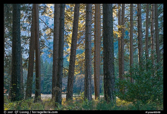 Pine trees bordering Cook Meadow. Yosemite National Park (color)