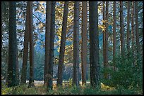Pine trees bordering Cook Meadow. Yosemite National Park, California, USA. (color)