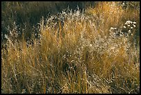 Close-up of grasses in autumn. Yosemite National Park ( color)