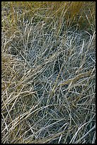Grasses and morning frost. Yosemite National Park, California, USA. (color)
