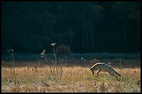 Coyote jumping in meadow. Yosemite National Park, California, USA.