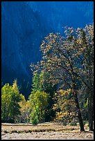 Autumn trees in Cook Meadow. Yosemite National Park, California, USA.