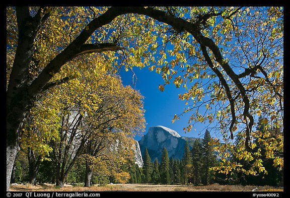 Arched branch with autumn leaves and Half-Dome. Yosemite National Park (color)