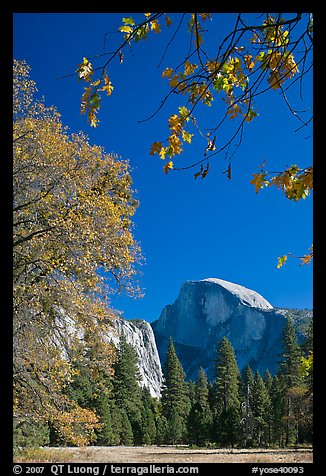 Half-Dome framed by branches with leaves in fall foliage. Yosemite National Park (color)