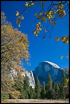 Half-Dome framed by branches with leaves in fall foliage. Yosemite National Park, California, USA.