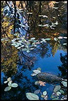 Creek with trees in autumn color reflected. Yosemite National Park, California, USA.