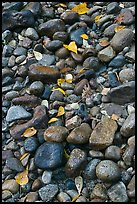 Pebbles and fallen leaves. Yosemite National Park, California, USA.