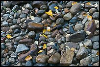 Autumn leaves and pebbles. Yosemite National Park ( color)