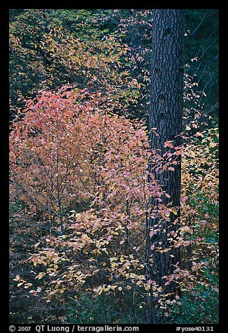Dogwoods in autum foliage and trunk. Yosemite National Park (color)