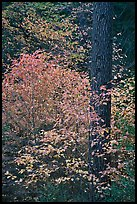 Dogwoods in autum foliage and trunk. Yosemite National Park ( color)