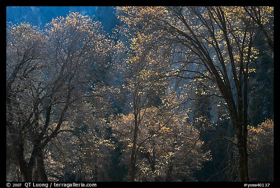 Backlit oak trees with sparse leaves, El Capitan Meadow. Yosemite National Park, California, USA.