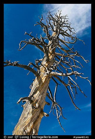 Dead Lodgepole Pine. Yosemite National Park (color)