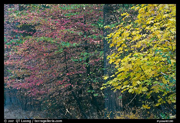 Dogwood and bigleaf Maple in autumn foliage. Yosemite National Park (color)