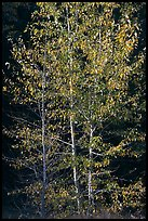 Backlit aspen. Yosemite National Park ( color)