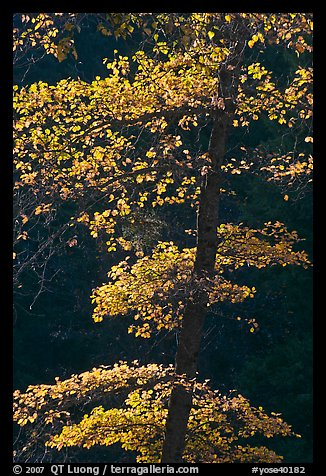 Backlit tree with autum leaves. Yosemite National Park (color)
