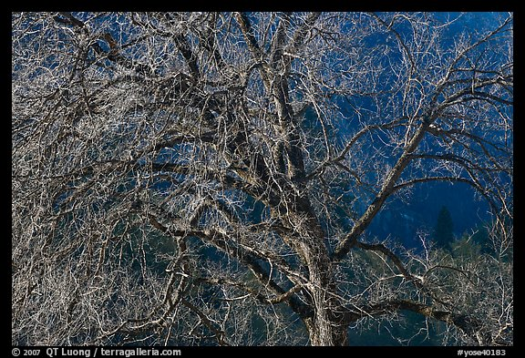 Elm tree and cliffs, morning. Yosemite National Park (color)