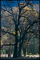 Oaks and sparse autum leaves, El Capitan Meadow. Yosemite National Park ( color)